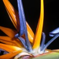 Bird of Paradise. Limited Edition of 33