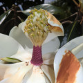 Title - Magnolia Magnificence