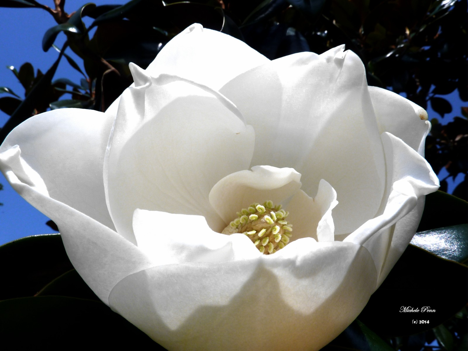 magnolia magnolia white (2)
